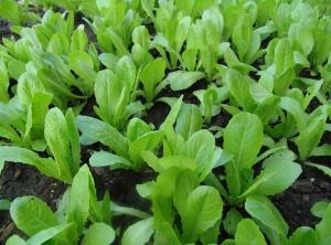 lettuce-garden-1498912