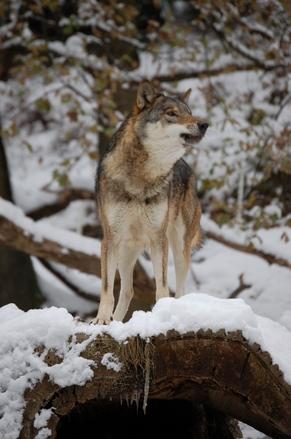 wolf-2-1568458